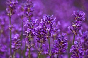Lavendel1_Traumhaut