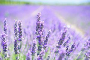 Lavendel_Traumhaut